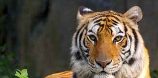Nadia the four year old female tiger which has been tested positive to COVID-19.